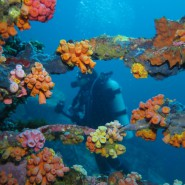 Tube Corals and Diver at Black Rock