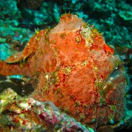Frogfish at Black Rock
