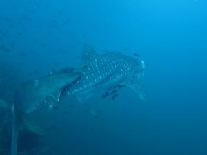 whale-shark-3-islets