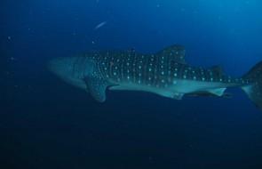 whale shark western rocky